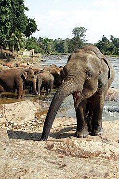 Asian elephants in Maha Oya River, Kegalle, Sabaragamuwa, Sri Lanka, Asia