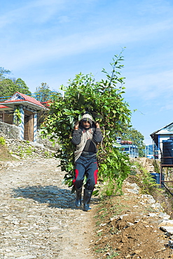 Nepalese Farmer carrying a full load of branches on his back, Dhampus Mountain village, Nepal, Asia