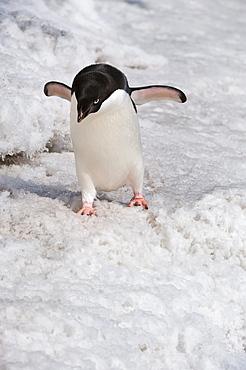 Adelie penguin (Pygoscelis adeliae), Paulet Island, Erebus and Terror Gulf, Antarctic Peninsula, Antarctica, Polar Regions