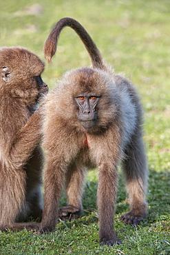 Gelada baboons (Theropithecus Gelada) grooming each other, Simien Mountains National Park, Amhara region, North Ethiopia, Ethiopia, Africa