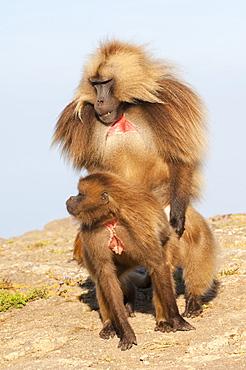 Mating Gelada baboons (Theropithecus Gelada), Simien Mountains National Park, Amhara region, North Ethiopia, Africa