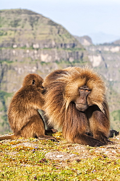 Gelada baboons (Theropithecus Gelada) grooming each other, Simien Mountains National Park, Amhara region, North Ethiopia, Africa