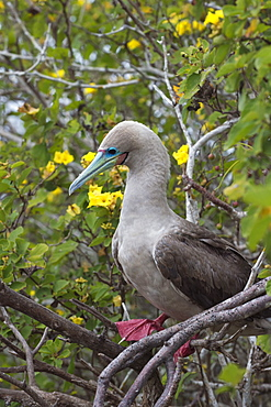 Red footed booby (Sula sula) in red mangrove, Genovesa Island, Galapagos, UNESCO World Heritage Site, Ecuador, South America