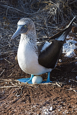Galapagos blue-footed booby (Sula nebouxii excisa), North Seymour Island, Galapagos, UNESCO World Heritage Site, Ecuador, South America