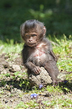 Baby Gelada baboon (Theropithecus Gelada), Simien Mountains National Park, Amhara region, North Ethiopia, Africa