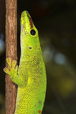 Madagascar Giant Day Gecko (Phelsuma madagascariensis grandis), Madagascar, Africa