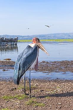 Marabou stork (Leptoptilos crumeniferus), Awasa harbour, Ethiopia, Africa