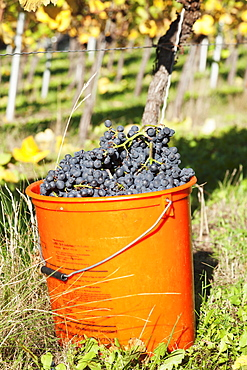 Bucket of wine grapes, Grape Harvest, Esslingen, Baden Wurttemberg, Germany