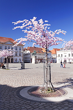 Almond Blossom in the Market Place, Landau, Deutsche Weinstrasse (German Wine Road), Rhineland-Palatinate, Germany, Europe