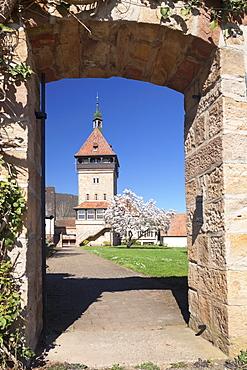Magnolia Tree Blossom, Geilweilerhof Institute for Grape Breeding, Siebeldingen,  Deutsche Weinstrasse (German Wine Road), Rhineland-Palatinate, Germany, Europe