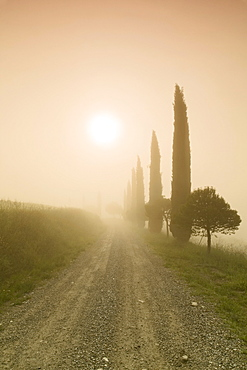 Cypress alley in the fog at sunrise, Val d'Orcia, UNESCO World Heritage Site, Tuscany, Italy, Europe