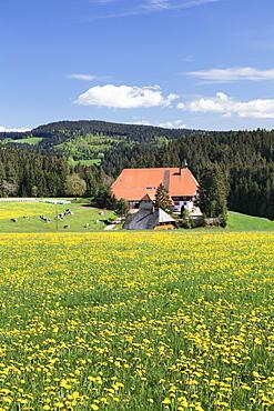 Unterfallengrundhof (farmhouse) in spring, Guetenbach, Black Forest, Baden Wurttemberg, Germany, Europe
