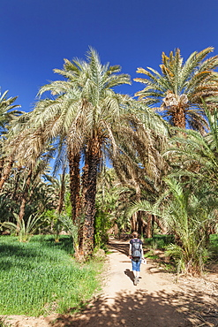 Hiker in a palm grove, Draa Valley, Atlas Mountains, Morocco, North Africa, Africa