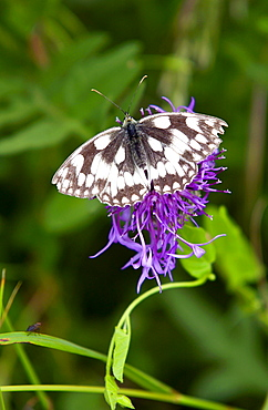 Marbled White Butterfly on Knapweed in Oxfordshire, England - 1161-1224
