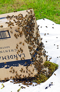 Trapping a swar m of  honey bees in a cardboard box, Cotswolds, UK