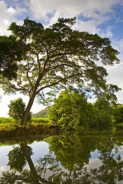 Brazilian Rain Tree hangs over the Mossman River, Daintree, Queensland, Australia