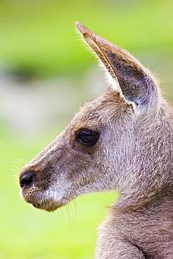 Antilopine Wallaroo, Queensland, Australia