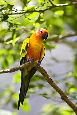 Sun Conure parrot perched on a branch, Queensland, Australia