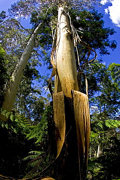 Eucalyptus tree (gum tree) in Blue Mountains National Park, New South Wales, Australia.
