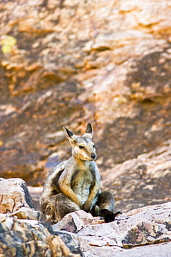 Wallaby sits on the rocks at Simpson's Gap, West Madonnell Mountain Range, Australia