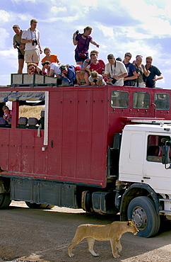 Tourists watching a lioness, Tanzania, East Africa