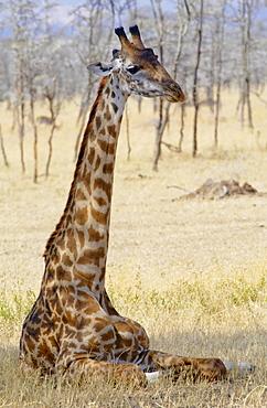 Giraffe resting, Serengeti, Tanzania