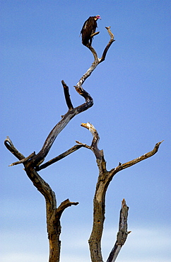 A vulture roosting, Grumeti, Tanzania, East Africa