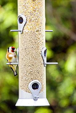 Goldfinch perched on a birdfeeder, Oxfordshire, United Kingdom