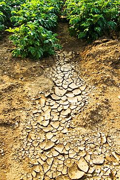 Dried earth and potato crops, Holkham, Norfolk, United Kingdom
