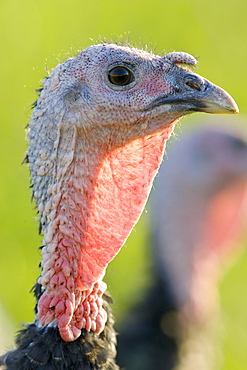 Free-range Norfolk bronze turkey at Sheepdrove Organic Farm , Lambourn, England