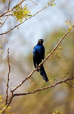 Rueppell's Glossy-Starling, Grumeti, Tanzania, East Africa