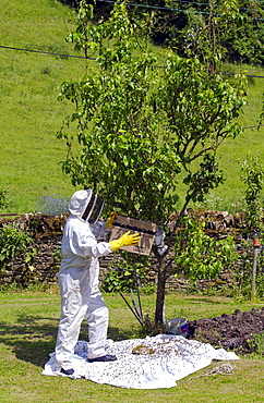 Beekeeper gathering swam of honey bees from a plum tree in the Cotswolds, UK - 1161-395