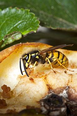 Common wasp yellow jacket, vespula vulgaris, feeding from eating apple on tree in English countryside, UK