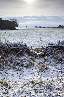 Badger shortcut in winter scene, The Cotswolds, UK