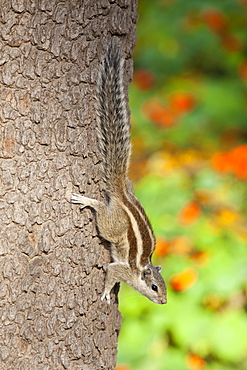 Common palm squirrel in garden of former Viceroy's Residence, New Delhi, India