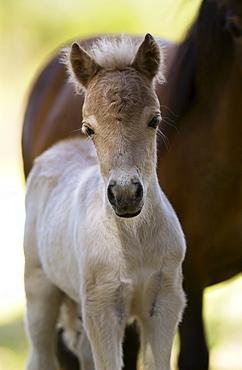 Shetland pony  foal , North Island, New Zealand