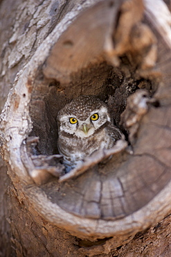 Indian Spotted Owl, Strix occidentalis, in tree nest in village of Nimaj, Rajasthan, Northern India