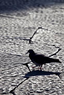 City Pigeon, Columba livia, wandering in Piazza dei Duomo, Tuscany, Italy