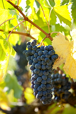 Sangiovese Chianti Classico grapes ripe for picking at Pontignano in Chianti region of Tuscany, Italy