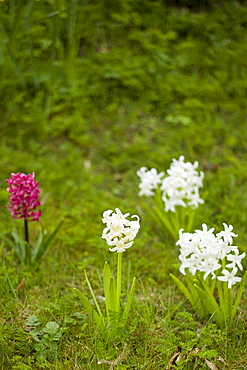 Hyacinths, Hyacinthus orientalis, in springtime in Swinbrook in the Cotswolds, Oxfordshire, UK
