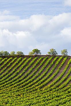 Rioja Vineyard on Ruta Del Vino wine route near Marques de Riscal in La Rioja-Alavesa area of Northern Spain