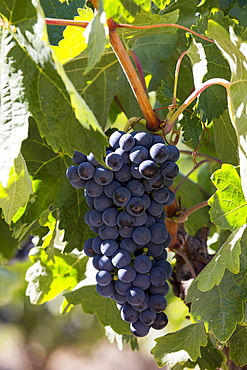 Marques de Riscal black grapes for Rioja red wine at Elciego in Rioja-Alaveda area of Basque country, Spain