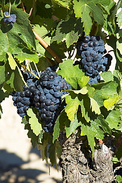 Marques de Riscal black grapes for Rioja red wine at Elciego in Rioja-Alaveda area of Northern Spain
