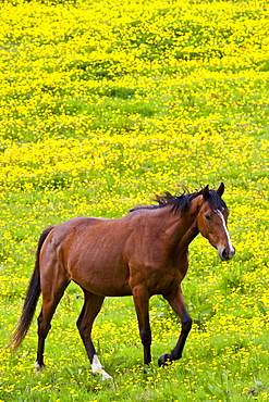 Dark bay Irish thoroughbred horse strolling in buttercup meadow in County Cork, Ireland