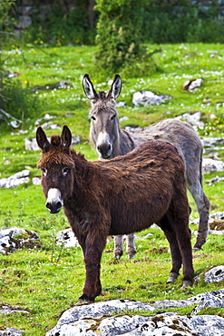 Traditional Irish brown and grey donkeys in The Burren, County Clare, West of Ireland