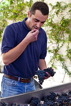 Olivier Berrouet, Oenologist, tasting harvested grapes at famous Chateau Petrus wine estate at Pomerol in Bordeaux, France
