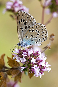 Butterfly searching for nectar in the Dordogne, France