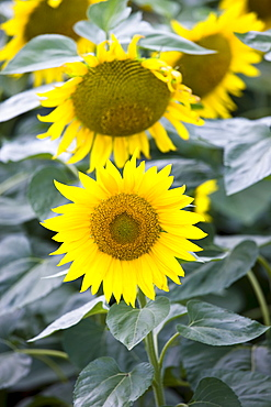 Sunflowers at Champigny-sur-Veude, the Loire Valley, France