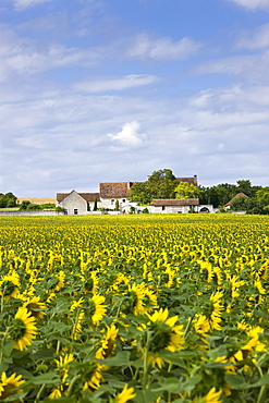 French farm homestead with crop of sunflowers at Champigny sur Veude, the Loire Valley, France