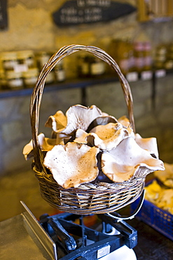 Basket of Pied Blue mushrooms grown in former troglodyte cave at Le Saut aux Loups, in the Loire Valley, France
